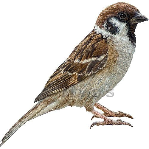 tree sparrow clipart picture large zvierata vt ky pinterest rh pinterest com sparrow clipart free sparrow clipart black and white