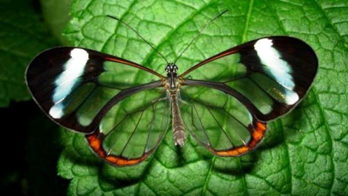 Mariposa con alas de cristal.