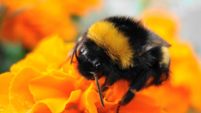 Photo Courtesy Of Wallpaperscraft Bumble Bee Insect Bee Pictures Bumble Bee