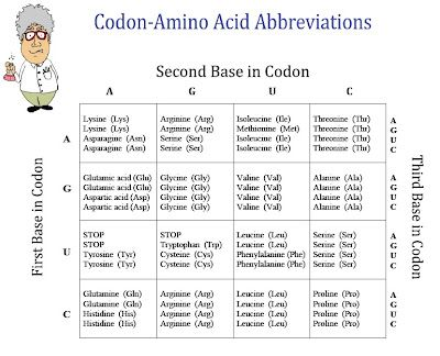 FREE Chart of Amino Acids and Codons Classroom Freebies
