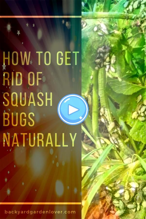 to Get Rid of Squash Bugs Naturally  How to Get Rid of Squash Bugs Naturally   Why do houseplants get brown tips Does it come from the plant moving inside stress from red...