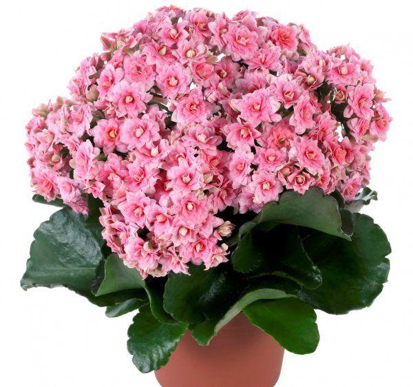 Фото декоративных домашних цветов с названиями (с ...