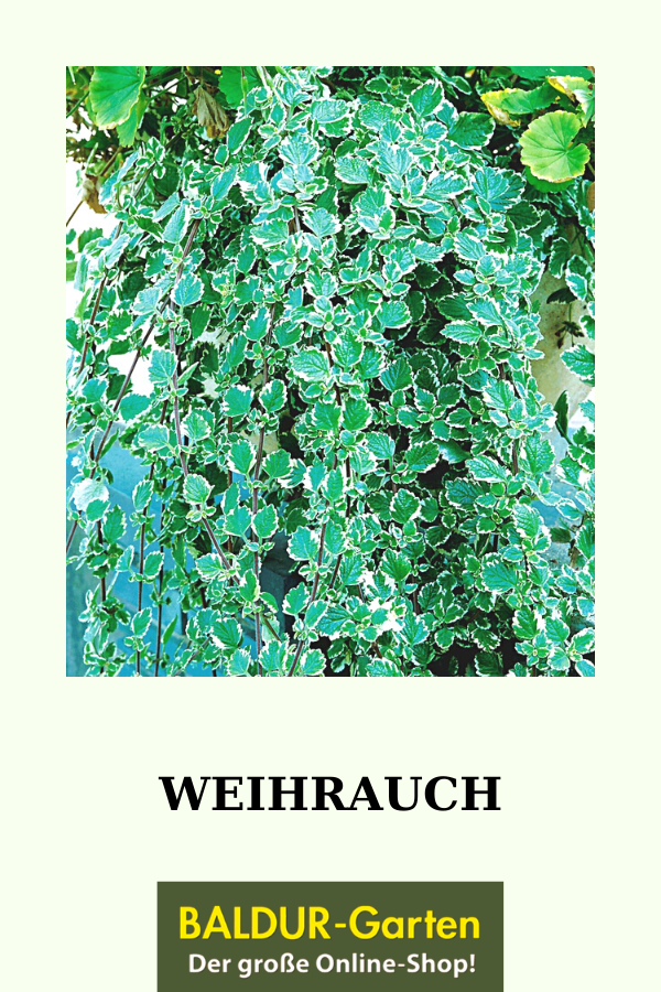 Weihrauch Widerstandsfahig Online Kaufen Baldur Garten In 2020 Weihrauch Hangepflanzen Weihrauch Pflanze