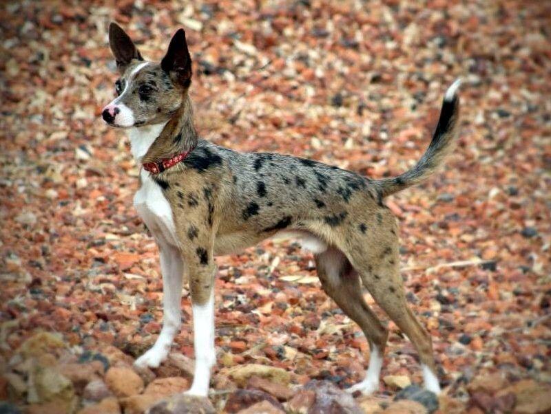 Rat Terrier Australian Shepherd Mix Rat Terriers Carry A Merle