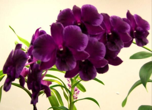 I Want This For My Bedroom Purple Orchids Orchid Flower Orchids