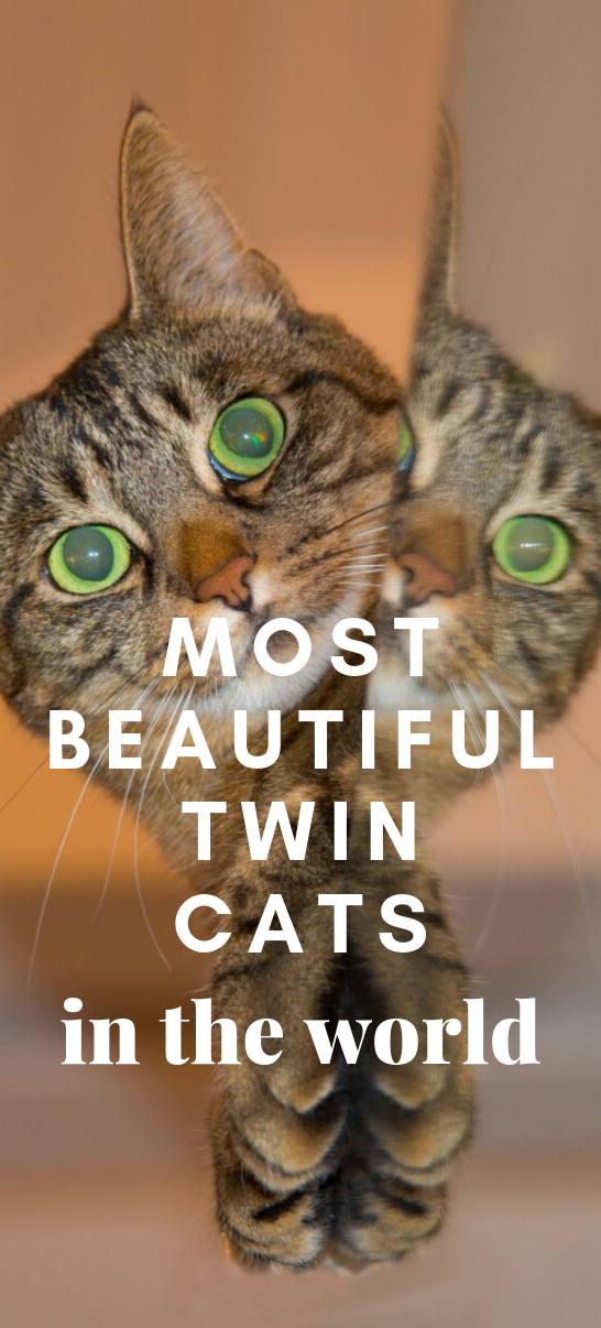 Meet The Most Beautiful Twin Cats In The World Cats
