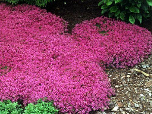 red thyme- hardy ground cover