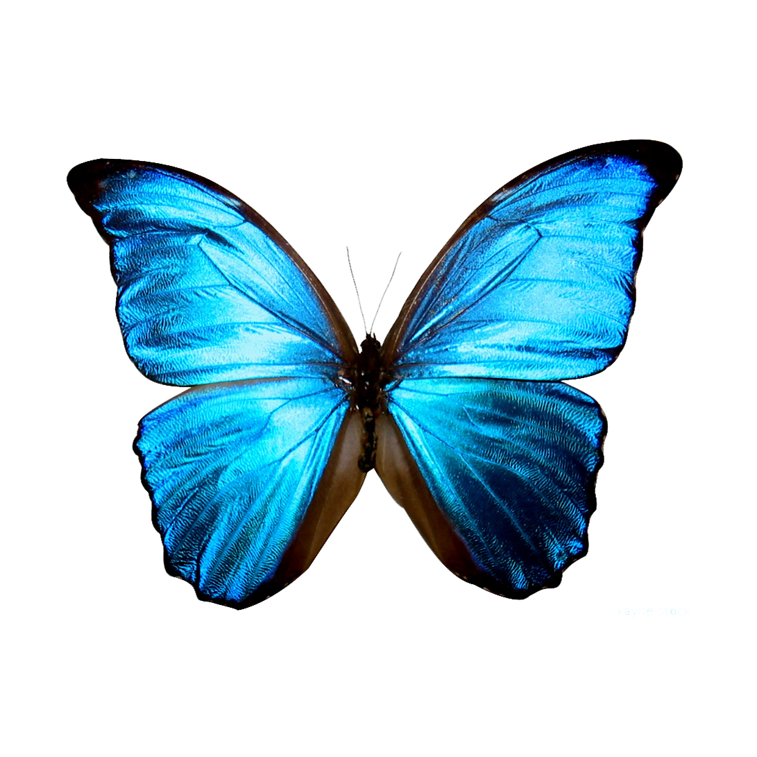 blue butterfly printable Google Search BUTTERFLIES AND