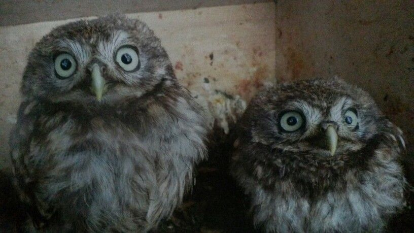 2 little owlets