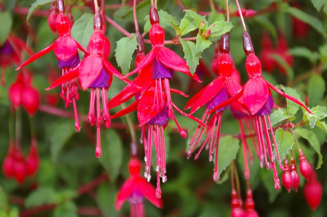 love this type of fuchia Flowers, Shade flowers, Flower