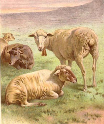 Sheep in Pasture, Large Antique Chromolith 1890s Print