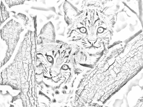 Free Bobcat Cubs Grayscale Adult Coloring Page
