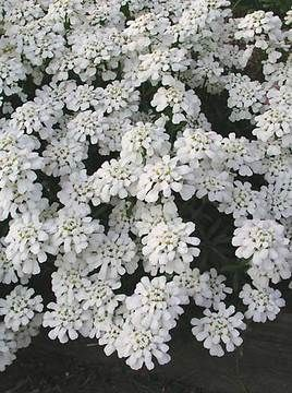 Iberis Purity Candytuft With Images Flowers Perennials Landscaping With Rocks Perennial Plants