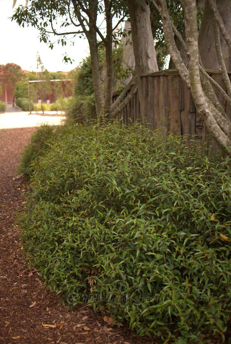 Correa Tangent   Australian Native Plants   Pinterest   Australian ...
