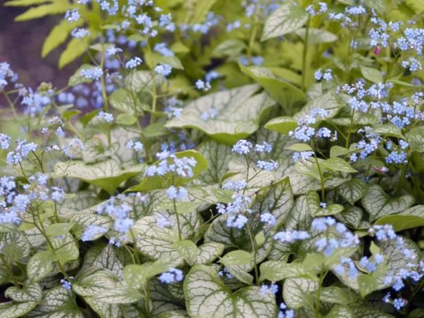 Tiny blue purple blooms appear in spring above the variegated leaves tiny blue purple blooms appear in spring above the variegated leaves of jack frost heart leaf brunnera the flowers complement the silvery leaves mightylinksfo