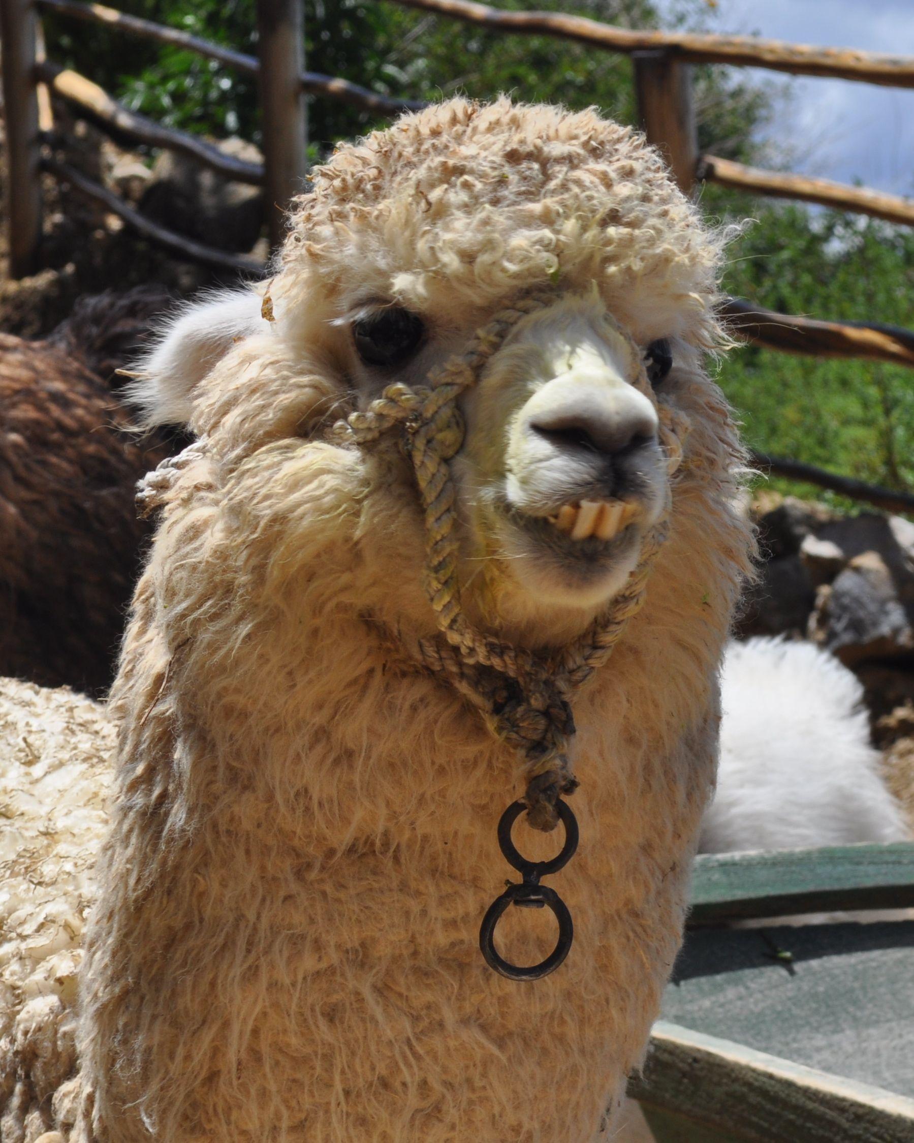 #Llama #Bolivia
