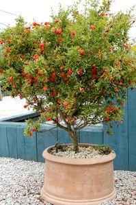 fiche plante grenadier pinterest fruit trees gardens and plants. Black Bedroom Furniture Sets. Home Design Ideas