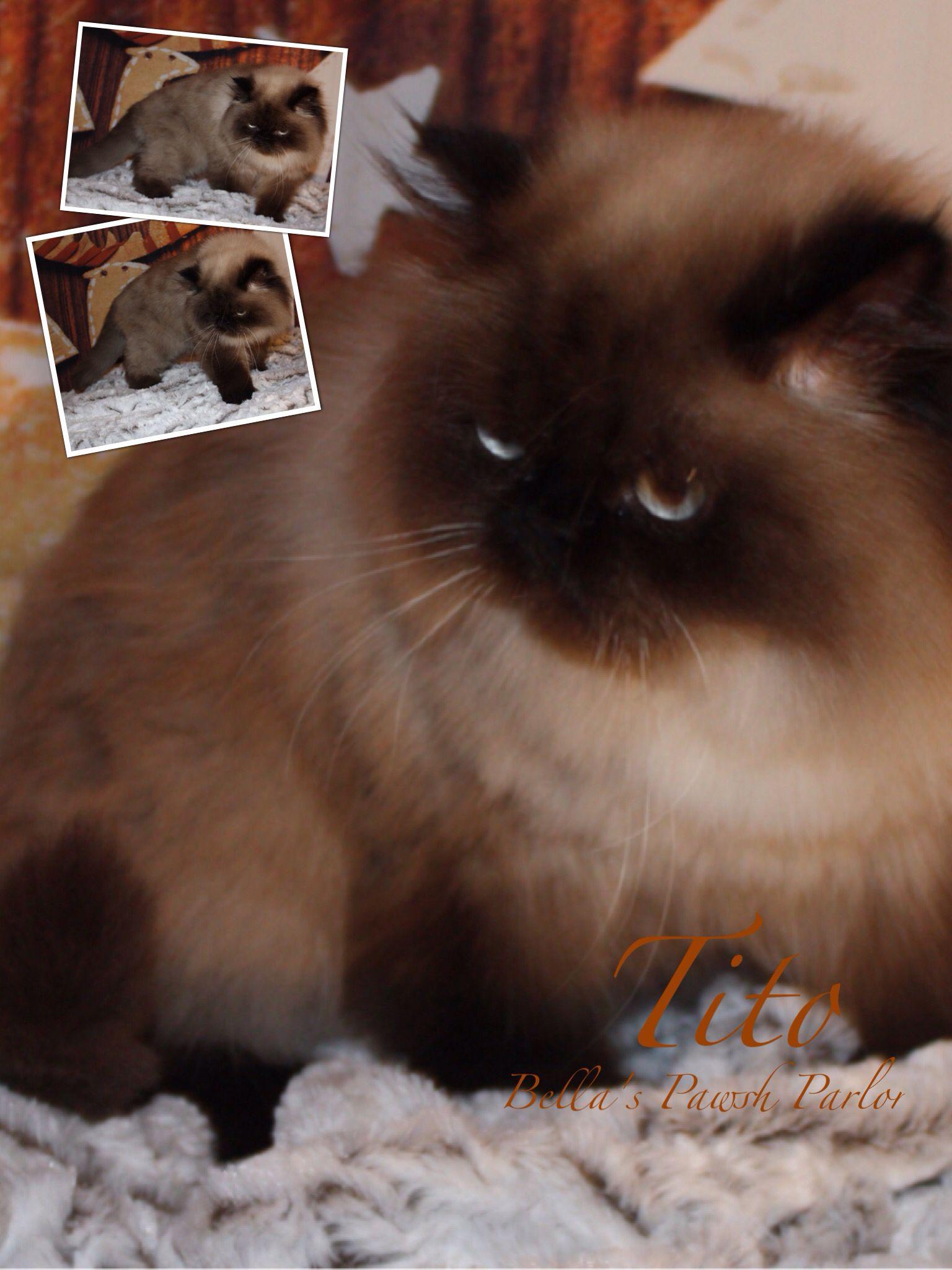 Bella S Pawsh Parlor Cute Cats Himalayan Cat Persian Cat