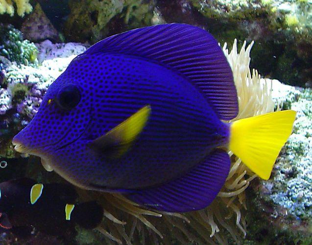 Purple Tang Saltwater Aquarium Fish Saltwater Fish Tanks Beautiful Fish