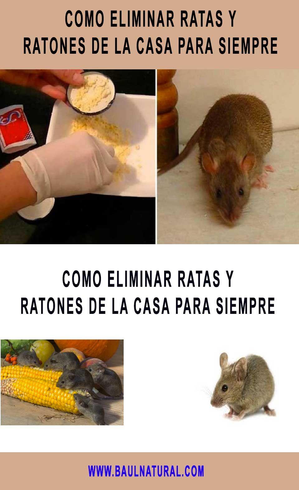 Como Acabar Con Las Ratas En El Jardin Como Eliminar Ratas Y Ratones De La Casa Para Siempre Ratas Y
