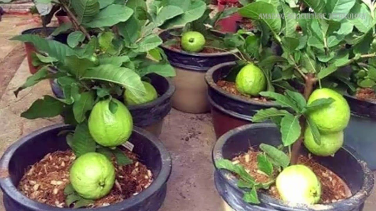 Wow Strange Guava Fruit Trees In Pots How To Plant And Grow Guava Fruit Tree In A Pot Youtube Guava Fruit Tree Guava Plant Guava Fruit