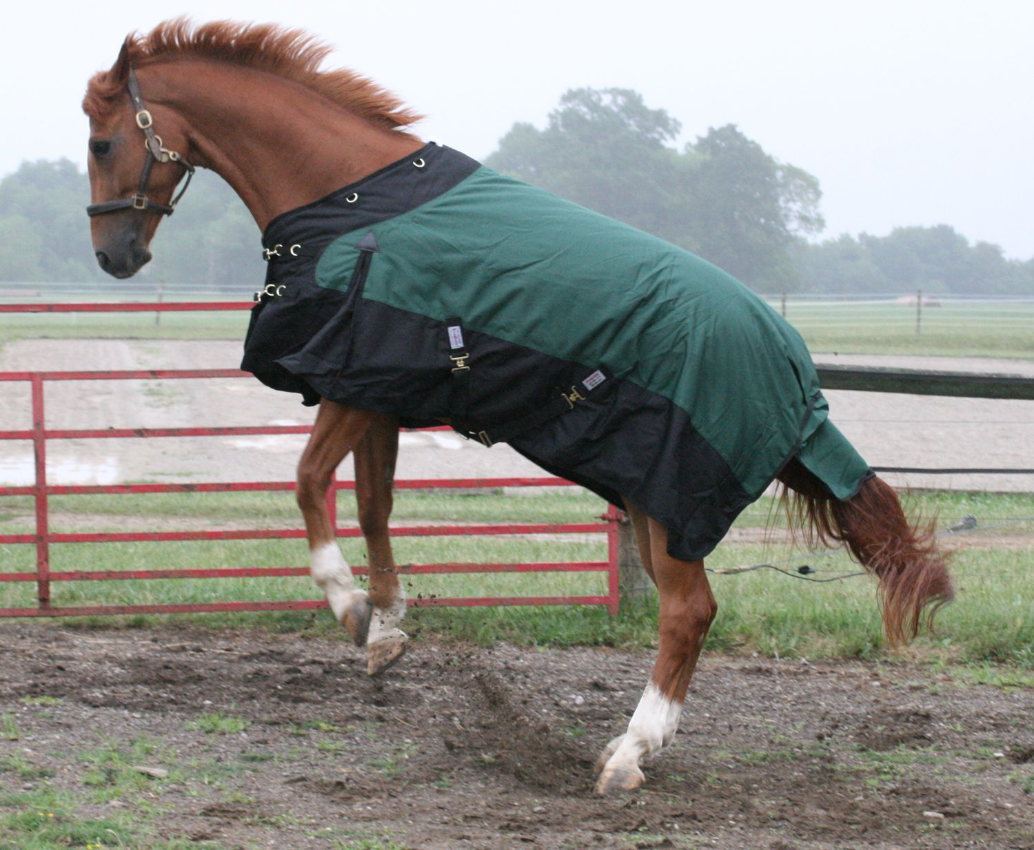 Klue showing off during the horse blanket shoot!