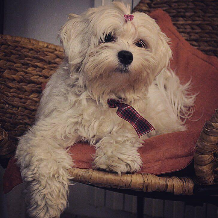 Cane Maltese Maltanczyk Dog White By Bionda88ely Dogs