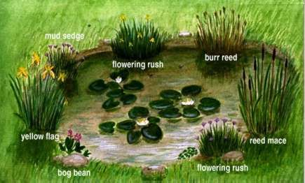 A pond is a fascinating habitat to study a good one for Backyard pond animals
