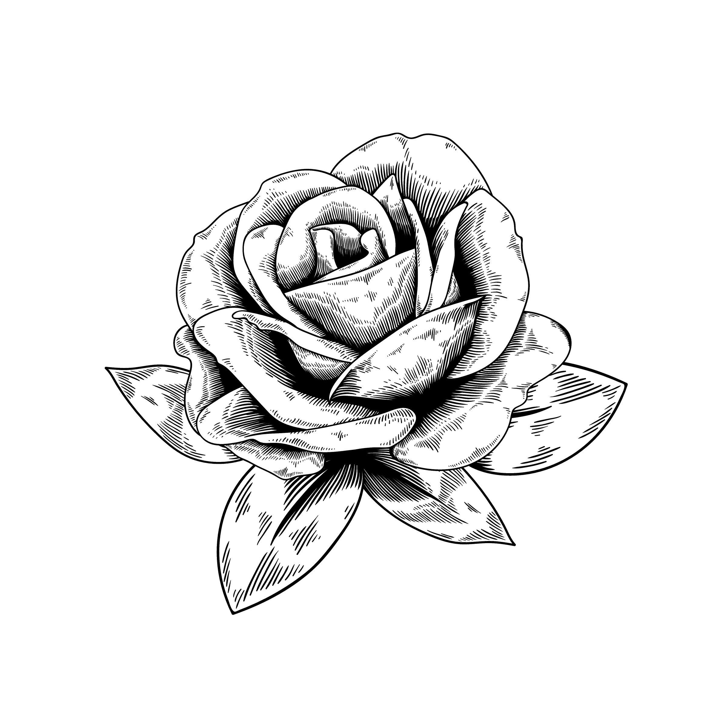 A Beautiful Rose Vector Rose Drawing Flower Drawing Free Vector Illustration