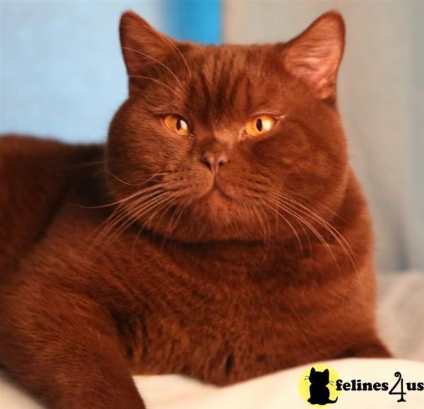 British Shorthair Red Tabby Cat Tabby Cat Cat Anatomy Orange