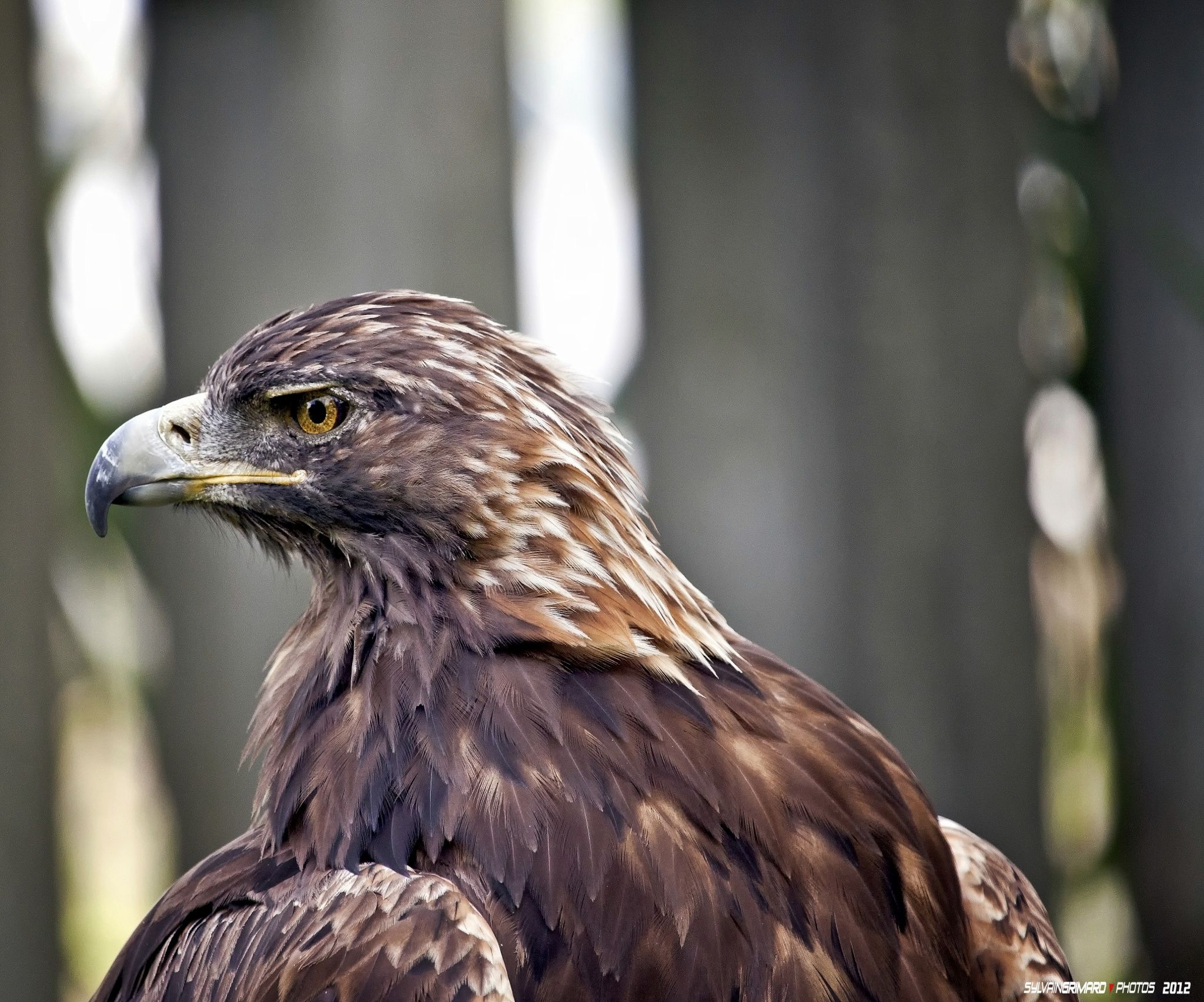 Golden Eagle by Sylvain Grimard on 500px