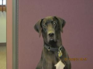 Adopt Siegi On Great Dane Dogs Great Dane Rescue Dogs
