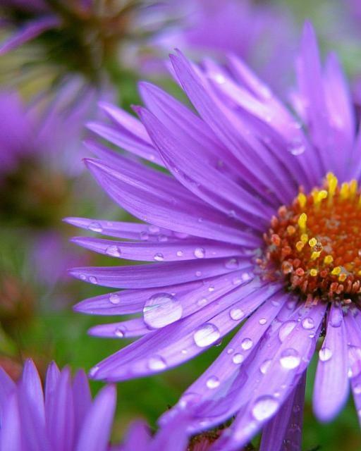 Purple Aster Flowers With Rain Drops Jpg Hi Res 720p Hd Aster Flower Flowers Photography Flower Pictures