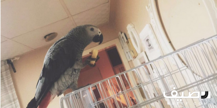 كاسكو صيد افريقي اليف Parrot Animals