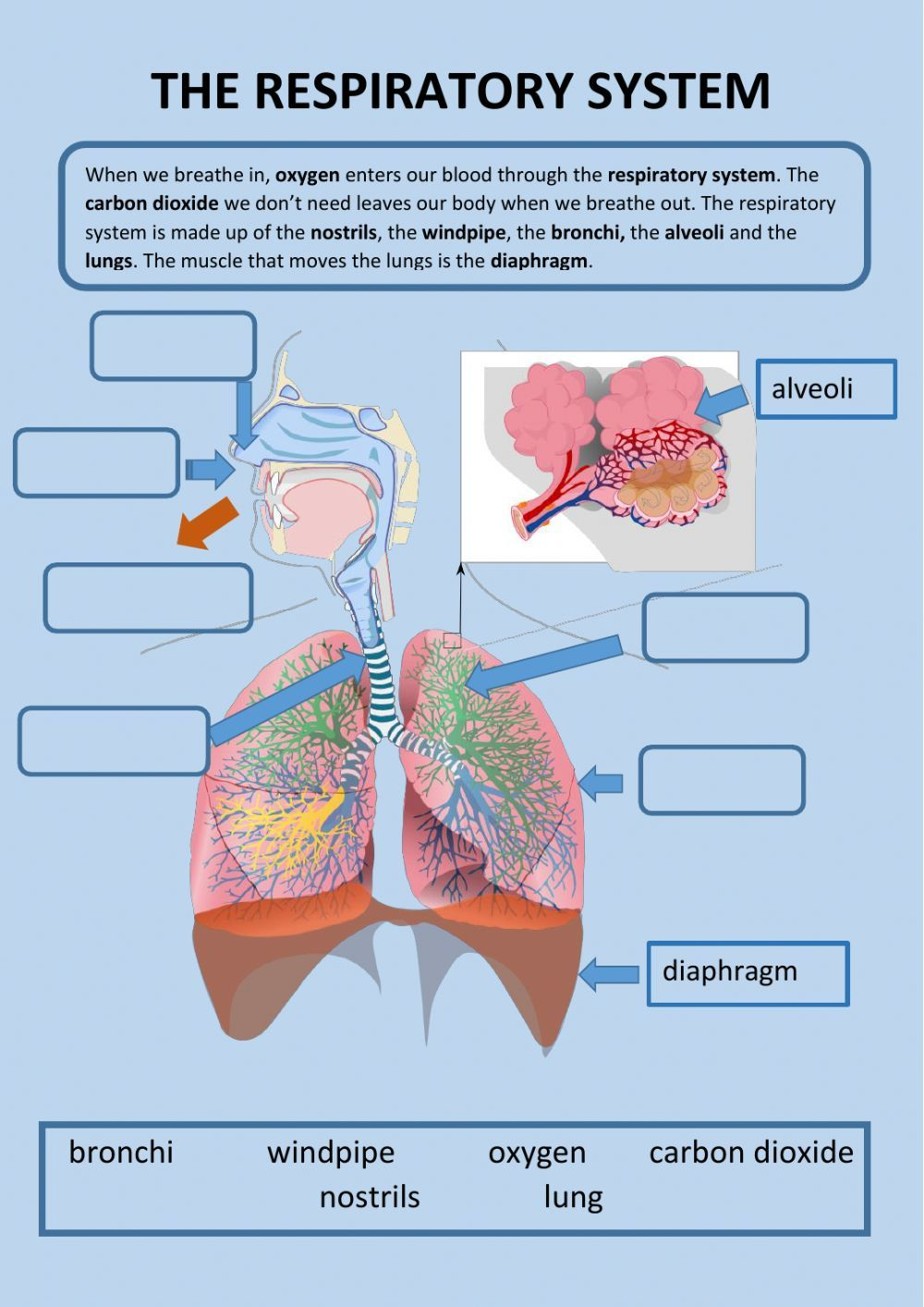 Body Systems Interactive And Downloadable Worksheet You Can Do The Exercises Online Or Download Respiratory System Respiratory System Activities Body Systems