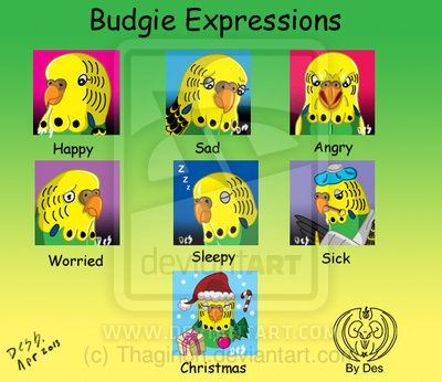 different budgie breeds - Google Search
