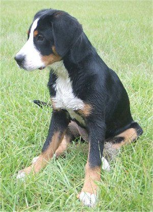 Greater Swiss Mountain Dog Pictures and Photos, 1 ...