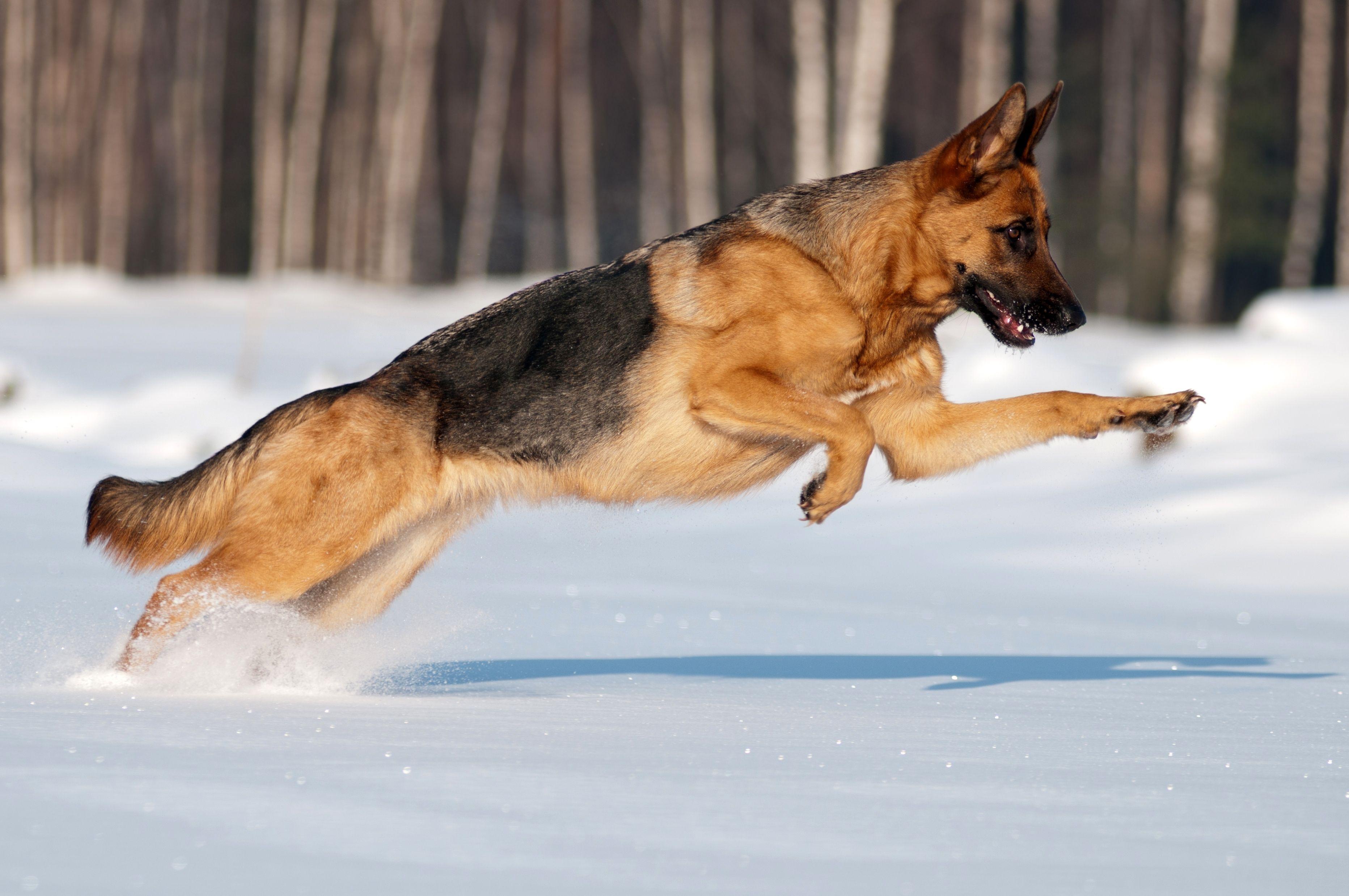 Dashing through the snow... German shepherd dogs, Dogs