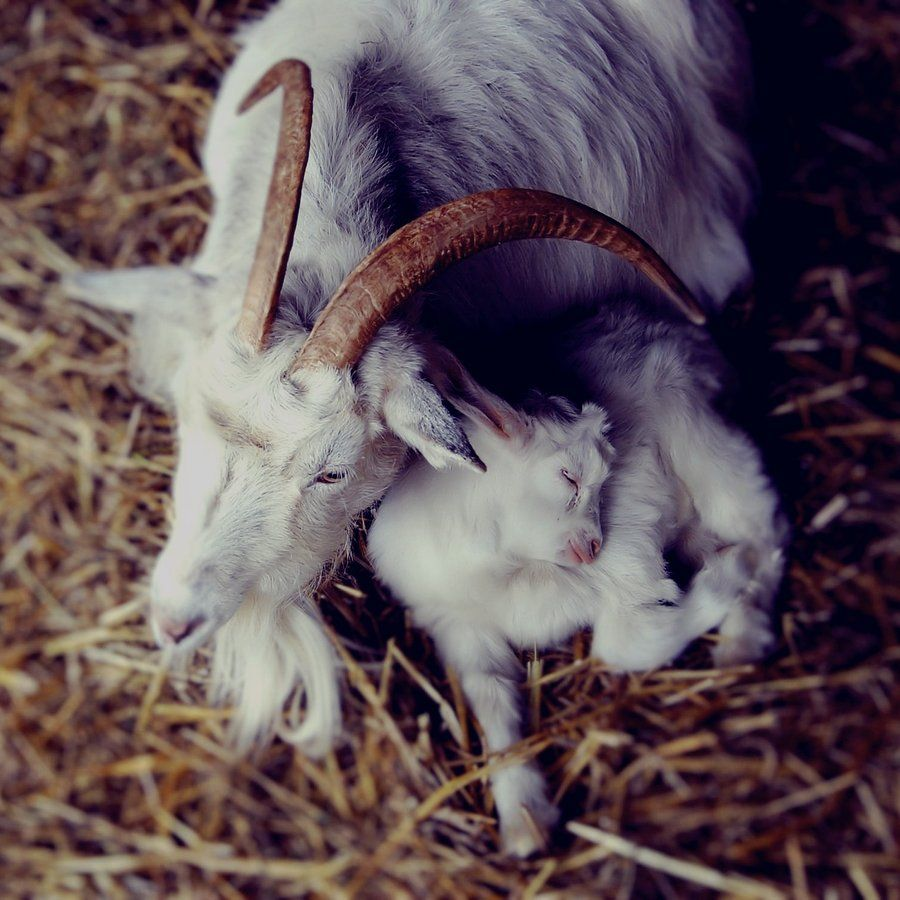 Sleeping baby goat by ~CocoaDesert on deviantART