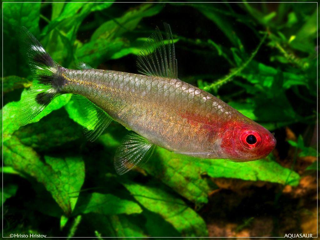 Rummy Nose Tetra Hemigrammus Rhodostomus Tetra Fish Freshwater Aquarium Fish Aquarium Fish