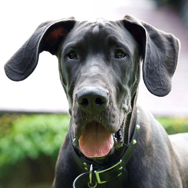 Great Dane Dog Breed Information Dog Breeds Dogs Great Dane Puppy