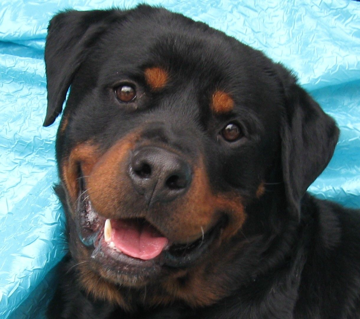 Rottweiler Dog For Adoption In Cuba Ny Adn 459124 On Puppyfinder