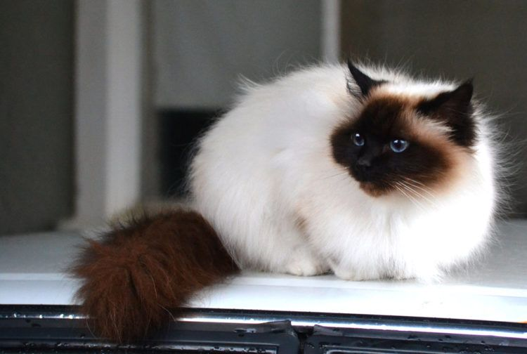 20 Most Affectionate Cat Breeds in The World | Cat | Cats