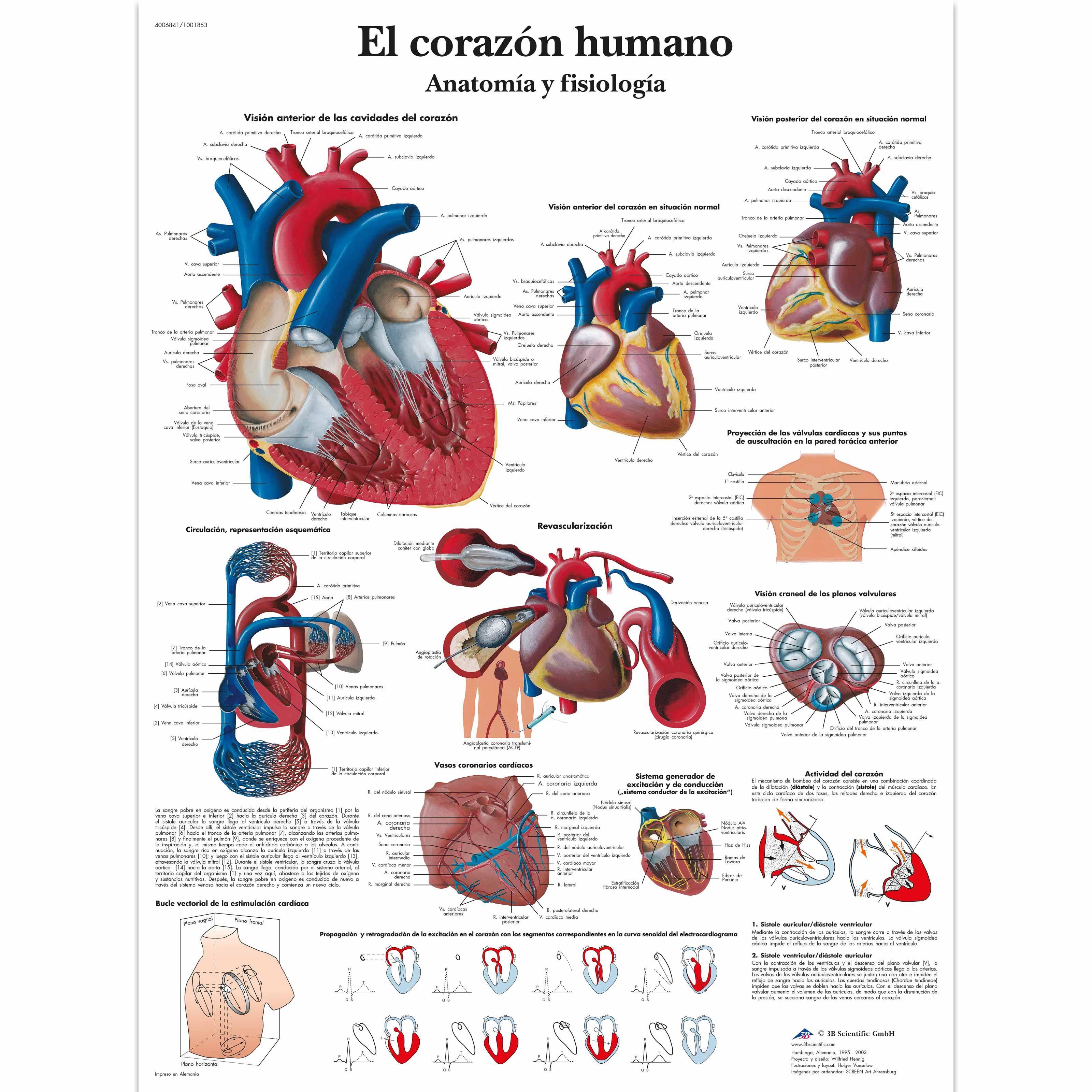 VR3334L_01_3200_3200_El-corazon-humano-Anatomia-y-fisiologia.jpg ...