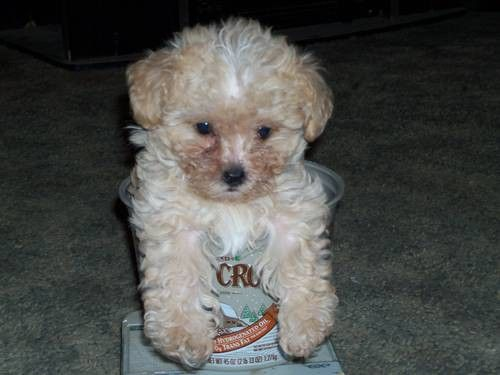 Aca Toy Poodle Puppies 3 Boys Toy Poodle Poodle Puppy Toy
