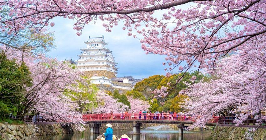 Cherry Blossom Festival 2020 Japan Cherry Blossom Cherry Blossom Japan Pink Flowering Trees