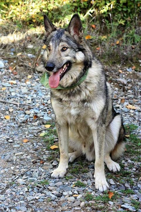 Adopt Mason On German Shepherd Dogs Large Dog Breeds Dogs