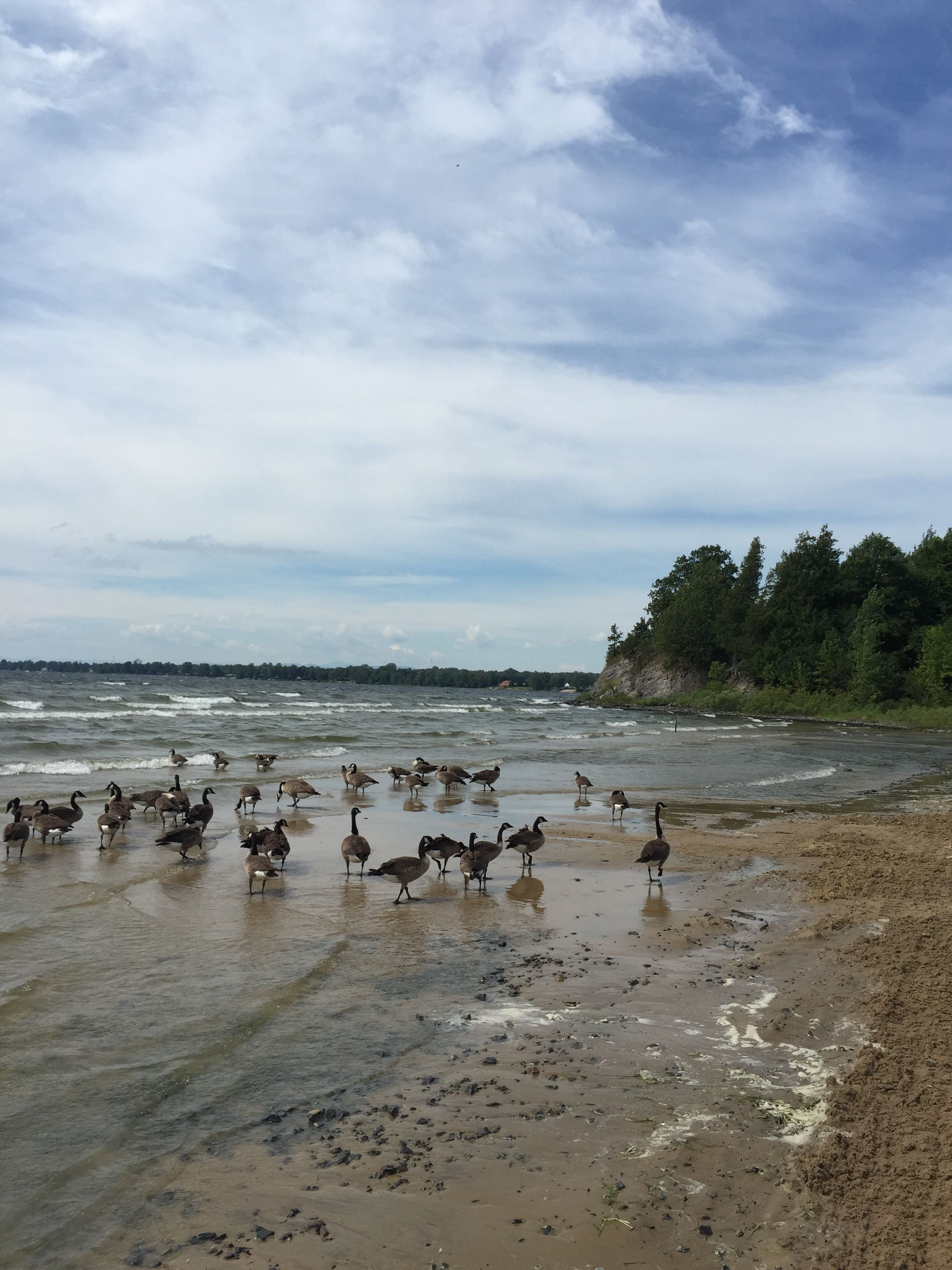 Canadian Geese Enjoying The Sun At Point Au Roche State Park Beach On Lake Champlan Eatplayloveny
