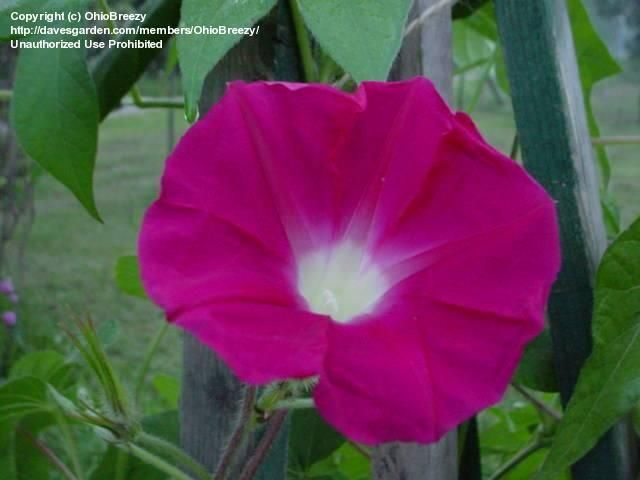 Full Size Picture Of Japanese Morning Glory Wine Roses Ipomoea Nil Morning Glory Pictures Rose