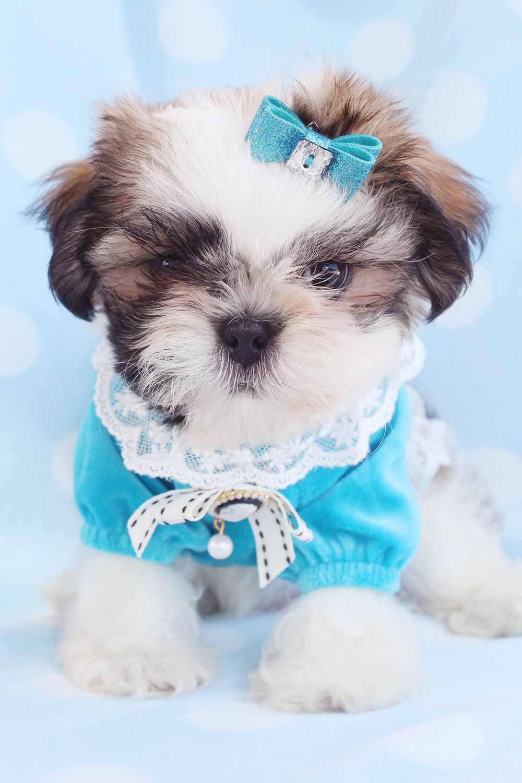 Tiny Shih Tzu Puppies For Sale Shih Tzu Puppy Super Cute Puppies Puppies